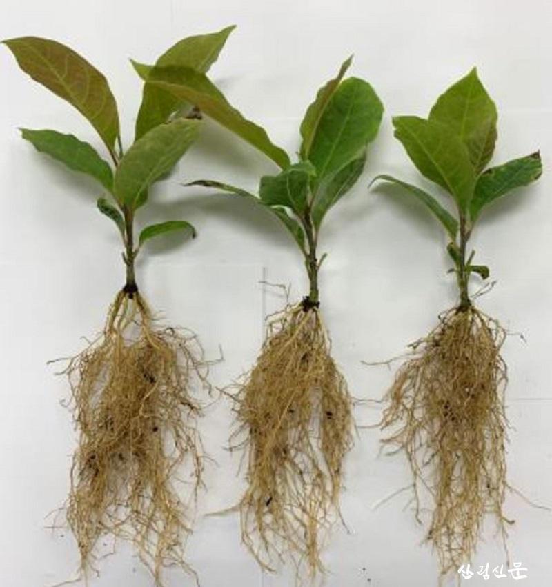 클론묘의 뿌리 발달.JPG