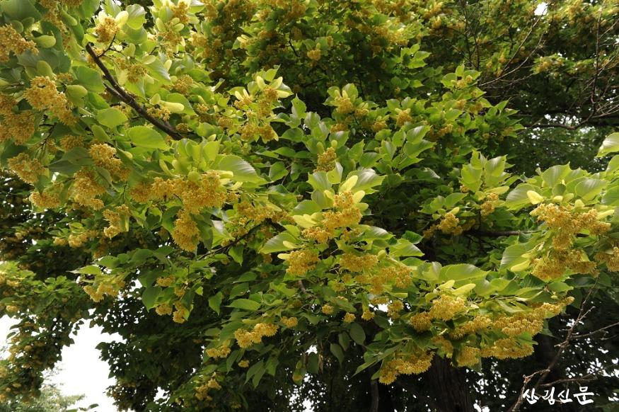 찰피나무 꽃사진.JPG