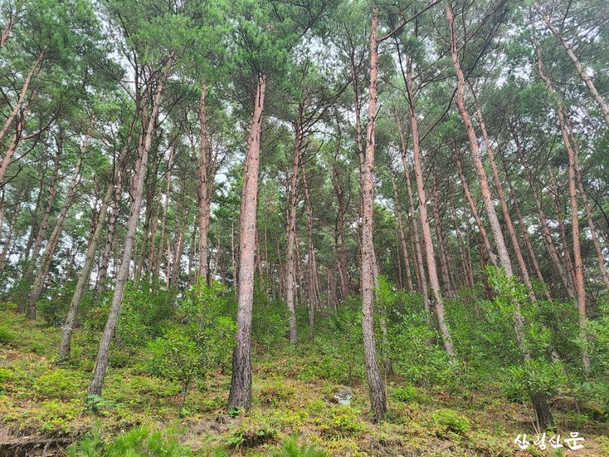 월아산 소나무림.jpg