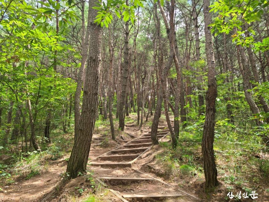 월아산 등산로 소나무숲.jpg