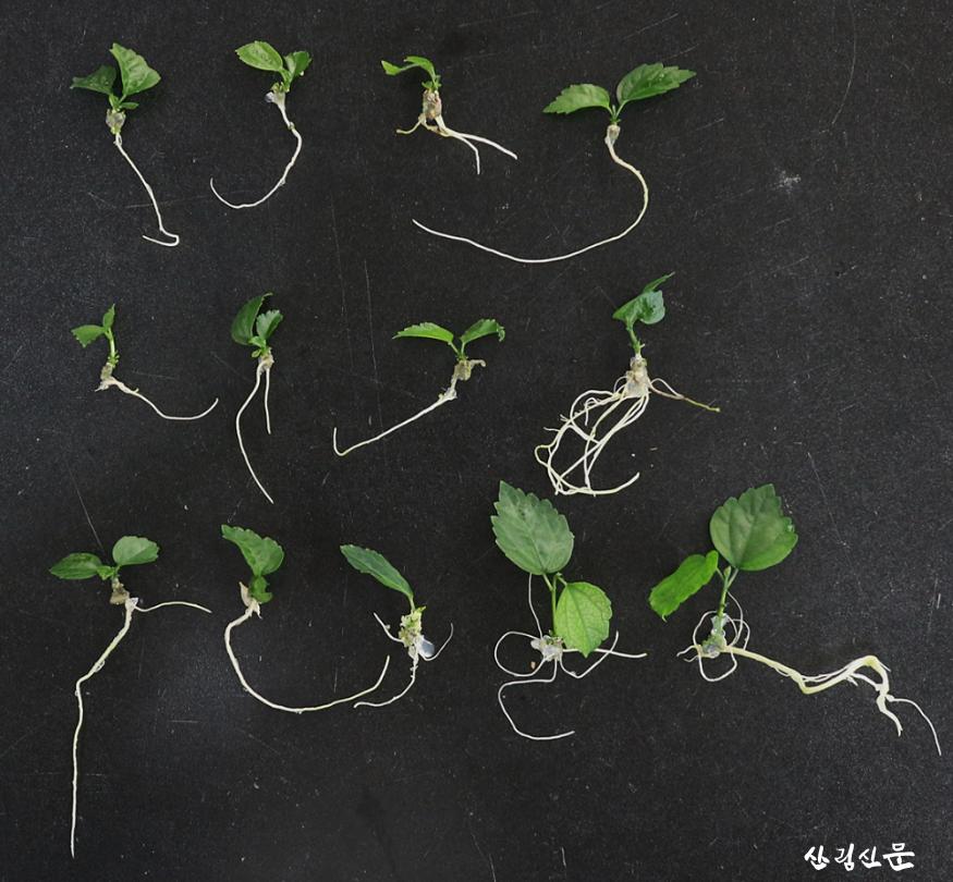 사진2_신초의 뿌리발달.png