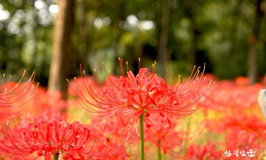 [신구대학교식물원] 꽃무릇 군락지.jpg