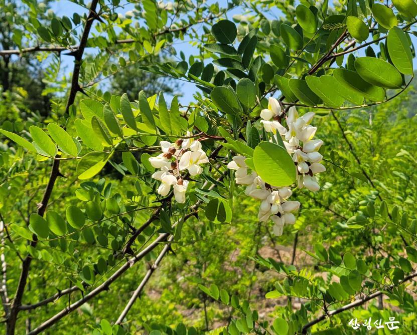 사진3_최우수 충청남도 산림자원연 구소 조림지 아까시나무 꽃.jpg