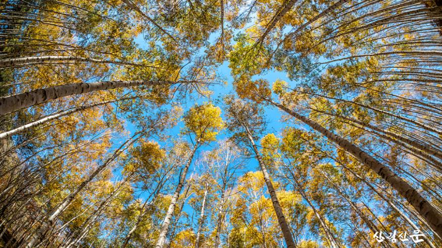 [크기변환]자작나무숲 풍경(2).png
