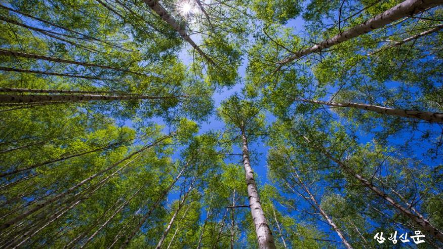 [크기변환]자작나무숲 풍경(3).png