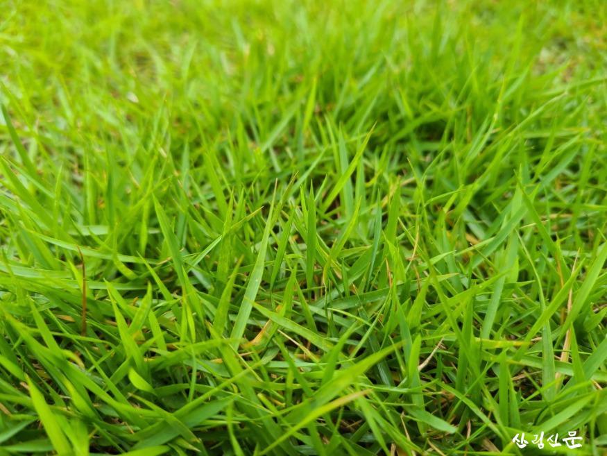 [크기변환]국립산림품종관리센터_보도자료_잔디 `세찬`_사진자료6.jpg