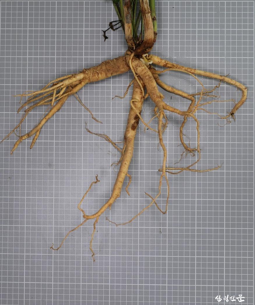 2.어수리 지하부(뿌리).jpg